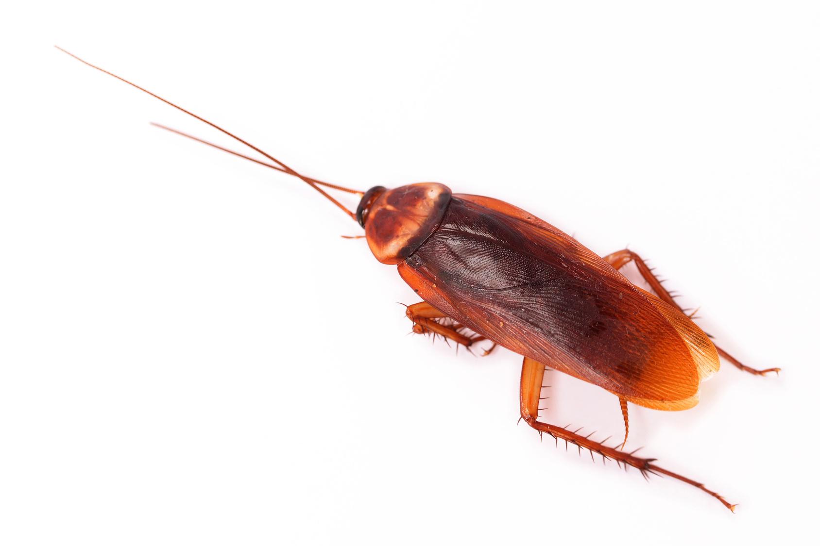traitement et extermination des cafards et blattes sur lyon roanne et villeurbanne. Black Bedroom Furniture Sets. Home Design Ideas